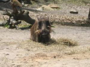 Safari Stars – Warthogs – A Goofy Idea
