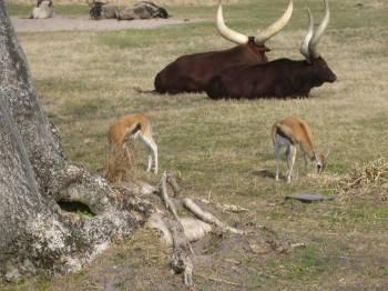 Safari stars thomson s gazelle a goofy idea for Gazelle cuisine hors serie